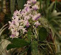 Phalaenopsis_lindenii_(3)<br>