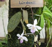 Phalaenopsis_lindenii<br>