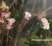 Phalaenopsis_lowii_(2)<br>