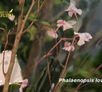 Phalaenopsis_lowii<br>