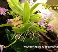 Phalaenopsis_lueddemanniana<br>