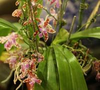Phalaenopsis_maeriae<br>