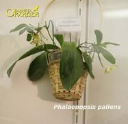 Phalaenopsis_pallens<br>