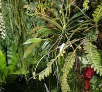 Phalaenopsis_pantherina_(3)<br>