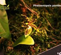 Phalaenopsis_pantherina<br>