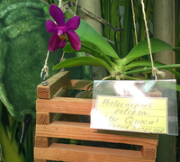 Phalaenopsis_pulchra_The_Queen<br>