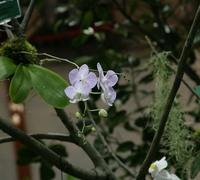Phalaenopsis_sanderiana<br>