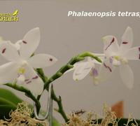 Phalaenopsis_tetraspis_(2)<br>