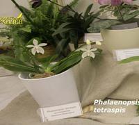 Phalaenopsis_tetraspis<br>