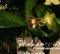 Phalaenopsis_venosa_(4)<br>