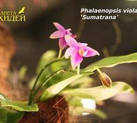 Phalaenopsis_violacea_(2)<br>