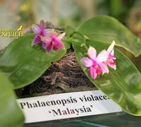 Phalaenopsis_violacea_(3)<br>