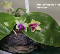 Phalaenopsis_violacea_(4)<br>
