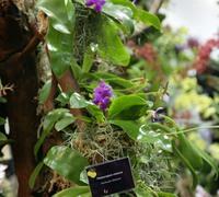 Phalaenopsis_violacea_(5)<br>