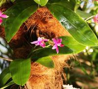 Phalaenopsis_violacea_(6)<br>
