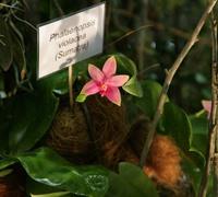 Phalaenopsis_violacea_(7)<br>