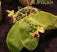 Phalaenopsis_violacea<br>