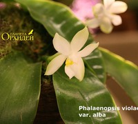 Phalaenopsis_violacea_var._alba_(2)<br>