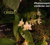 Phalaenopsis_violacea_var._alba_(3)<br>