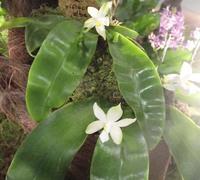 Phalaenopsis_violacea_var._alba<br>