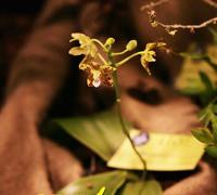 Phalaenopsis_viridis<br>