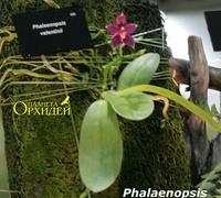 Phalaenpsis_Valentinii<br>