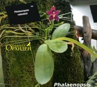 Phalaenpsis_x_valentinii<br>