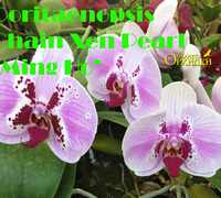 Doritaenopsis_Chain_Xen_Pearl_'Ming_Ho'<br>