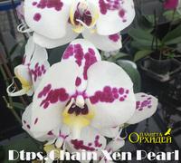 Doritaenopsis_Chain_Xen_Pearl<br>