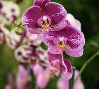 Doritaenopsis_DorHo's_Dream<br>