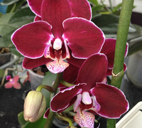 Doritaenopsis_Ever_Spring_Prince_'Yn'<br>