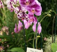 Doritaenopsis_Ho'_Dream<br>