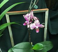 Doritaenopsis_I-Hsin_The_Big_Bang<br>