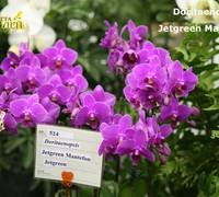 Doritaenopsis_Jetgreen_Mantefon_(2)<br>