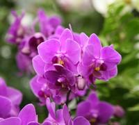 Doritaenopsis_Jetgreen_Mantefon<br>