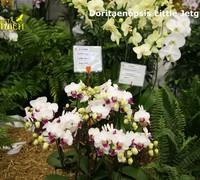 Doritaenopsis_Little_Jetgreen<br>