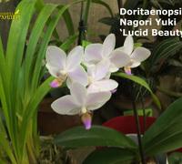 Doritaenopsis_Nagori_Yuki<br>