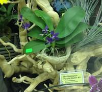 Doritaenopsis_Purple_Martin_KS<br>