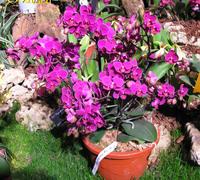 Doritaenopsis_Rong_Guan<br>