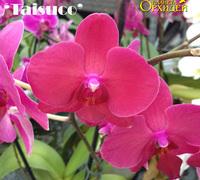 Doritaenopsis_Taisuco_Bloody_Mary_'Taisuco<br>