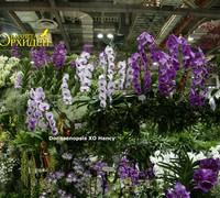 Doritaenopsis_XO_Hancy<br>