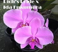Phal.Rich's_Pride_x_Ida_Fukumura<br>