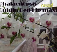 Phalaenopsis-_Red_Lip_maxi<br>
