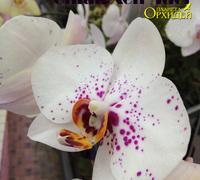 Phalaenopsis_'Chian_Xen_'Idol'<br>