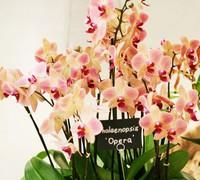 Phalaenopsis_'Opera<br>