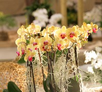 Phalaenopsis_'Solet_Gold'<br>