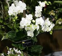 Phalaenopsis_Afrodita<br>