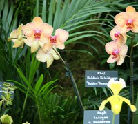 Phalaenopsis_Baldans_Kaleidoscope_(3)<br>