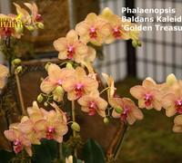 Phalaenopsis_Baldans_Kaleidoscope<br>