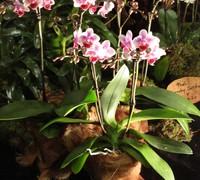 Phalaenopsis_Betris_x_Pica_Sweetheart<br>